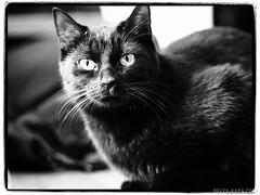 DK_1409_190131.jpg (Dimitrios Katsamakas) Tags: berlin berlinmitte deutschland farben germany katze kucing rheinsbergerstr schwarz tiere animals black blackcat cat colors deltakapa d