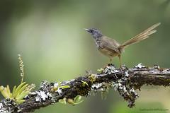 นกกระจิบหญ้าคิ้วขาว / Hill Prinia / Prinia supercillaris (bambusabird) Tags: animals bird prinia hillprinia mountain forest rainforest tropical chiangmai thailand