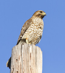 Red-shouldered Hawk, yearling female (christopheradler) Tags: california redshouldered hawk buteo lineatus