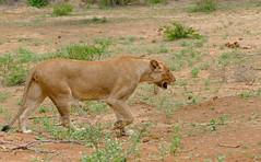 Lioness (Panthera leo) (berniedup) Tags: lowersabie kruger lioness pantheraleo taxonomy:binomial=pantheraleo