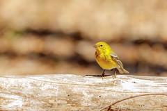 Pine Warbler (wn_j) Tags: birds birding nature naturephotography wildlife wildanimals wildlifephotography songbirds canon canon5d4 johnheinz heinzwildlife heinz heinznwr