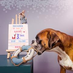 11/52 remember the date (Kerstin Mielke) Tags: welcome birthday boxerdog 52weeksfordogs kurt