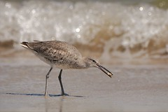 Willet with Crab (Stan in FL) Tags: birding willet tringa semipalmata fort clinch state park fl nikon d500 tamron nature natur