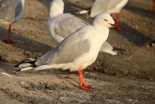 Yamba, seagulls IMG_3274
