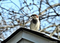 Male House Sparrow with Nesting Material (Anne Ahearne) Tags: house sparrow building nest spring springtime wildlife nature animal