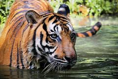 Tigre de Malaisie (Ma Poupoule) Tags: malaisie tiger animal animaux asie asia