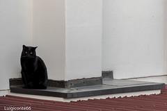 all'angolo (conteluigi66) Tags: d500 nikon 28300 gatto nero tetto occhi muro cornicione felino luigiconte cat black feline