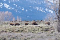 Wapiti and bison. (nevadoyerupaja) Tags: spring landscape wapiti usa wyoming jacksonhole elk bison wildlife mountain