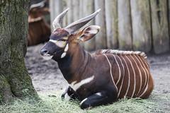 Bongo-Antilope   Tragelaphus eurycerus (MLopht) Tags: tiere antilope bongo