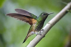 Humming Bird (Emma Pollock - Photos) Tags: humming bird cloudforest bellavista green rainforest ecuador