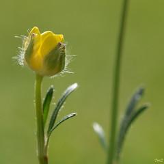 bébé bouton d'or !! (thierrymazel) Tags: bouton or fleurs flowers blossoms printemps spring nature jardin jaune gold macro bokeh profondeur champ pdc