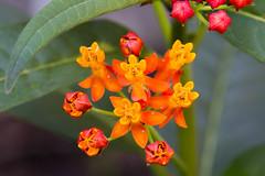 Strange flowers (M.D. Photos) Tags: macro tropicalmilkweed butterflyweed