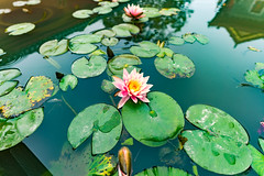 DSC01571 (alexng87) Tags: flower nelumbonucifera nelumbo nucifera lotusflower lotus indianlotus buddist