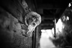(Jen MacNeill) Tags: sheep ram skull bone horns bones death grim morose sad dead bw blackandwhite farm