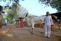 કમાઉ દીકરો (The Breadwinner) (Rahul Gaywala) Tags: old farmer family farm agriculture bullock woman kid child gujarat india cow sky blue