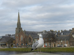 Seagull, Inverness, March 2017 (allanmaciver) Tags: seagull river ness inverness st columba church grey clouds bird city capital highlands central walk water pose allanmaciver