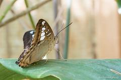 JM foto75-124 (janetankersmit) Tags: 2017 vlinders vlindertuin zutphen