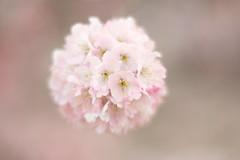Harumeki Sakura / 春めき桜 (Hideo N) Tags: flower nature sakura blossom cherryblossoms xt1 helios40 bokeh harumekisakura 春めき桜 桜 fantasticflower