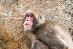 Japanese Macaque (Macaca fuscata) D50_7667.jpg (Mobile Lynn) Tags: captive japanesemacaque primate nature fauna macacafuscata wildlife launceston tasmania australia au