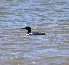 Common Loon (billbigfish) Tags: loon commonloon wildlife peacevalleypark ngc nature birdwatcher canon eos80d canoneos80d divingduck duck ducks fowl waterfowl