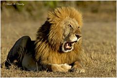 The Golden Simba! (MAC's Wild Pixels) Tags: thegoldensimba simba lion kinglion lionking lionpride kingofthejungle lions wildafrica wildanimal wildlife wildcat africanwildlife outdoors outofafrica wildcats maasaimaragamereserve kenya macswildpixels carnivore predator kingromeoii goldenlight goldenhour ngc npc