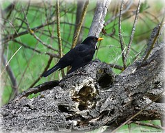 Frühlingsmelodie (mayflower31) Tags: frühling spring baumstamm ast vogel bird amsel