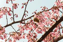 Tokyo - Shinjuku - 03 (coopertje) Tags: tokyo shinjuku sakura cherryblossom blossom japan tokio japanesewhiteeye bird animals tree flower
