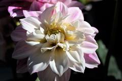 Dahlia (ameliapardo) Tags: dahlia plantas flores naturaleza andalucia airelibre sevilla españa
