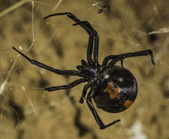Redback Spider (Latrodectus hasseltii) (peter.tocher) Tags: redback spider common venomous australian garden latrodectus hasseltii underside