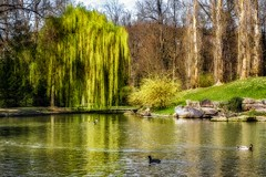 Pond Idyll (Claudia G. Kukulka) Tags: pond teich willow weide ducks enten wasser