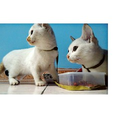 Rệp và Rận (tramambi) Tags: brother sister family boy girl photo picture cat pet home twins white feliscatus love like live vietnam hanoi look day animal kitty zenfone phone camera