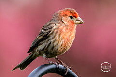 RoseFinch (Mike M Martin) Tags: backyard birds feeder bokeh bird finch rosefinch color naperville illinois sigma 150600 canon 80d detail beautiful