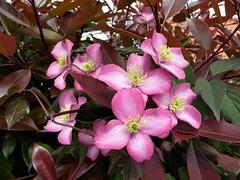 Red Robin shrub (Martellotower) Tags: red robin photinia shrub flower garden
