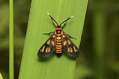 Amata huebneri (Huebner's Wasp Moth) - Singapore. (Nick Dean1) Tags: amatahuebneri lepidoptera arctiidae arctiinae erebidae huebnerswaspmoth animalia arthropoda arthropod hexapoda hexapod insect insecta pasirrispark singapore waspmimic moth