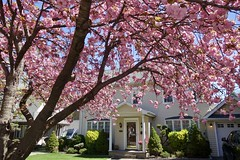 Cherry Tree (Anne Marie Clarke) Tags: cherry tree pink house bayside nyc queens blooms
