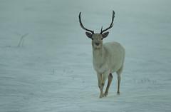 Winter (Nexwayz) Tags: hiver daim neige blanc