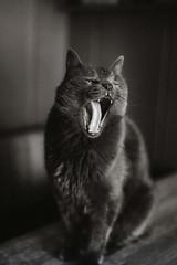11/52❤ (clo dallas) Tags: teo mycat feline cats pets animals animalidomestici bw blackandwhite biancoenero ritratto