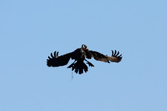 Double-crested Cormorant carrying nesting material (M. Coppola) Tags: florida hillsborough doublecrestedcormorant phalacrocoraxauritus carryingnestingmaterial