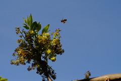 Vuelo de reconocimiento (ameliapardo) Tags: abejas vuelo cielo azul verde naturaleza airelibre analucia sevilla españa