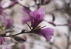 Magnolia (careth@2012) Tags: nature spring magnolia petals flower flowers