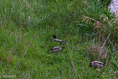 Alors, t'en trouve des oeufs de Pâques??? (Crilion43) Tags: france oiseaux vichy herbe canard allier auvergne cane caneton corbeau corneille eau merle pigeon rivière