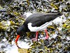 Oystercatcher Out Fishing At Aberdeen Harbour Scotland 2017