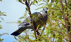 Wood Pigeon and Cherry Blossom in Bud now taken through front room window (John Carson Essex UK) Tags: thegalaxy thegalaxystars rainbowofnature supersix