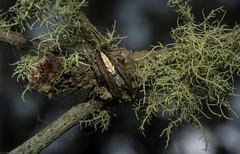 Neoscona sp? (dustaway) Tags: arthropoda arachnida araneae araneomorphae australianspiders scrubbycreek bentley backcreekvalley northernrivers nsw nature australia araneidae araneinae neoscona orbweaver