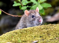 Watching. (pstone646) Tags: nature animal wildlife rodent rat closeup fauna bokeh ashford kent