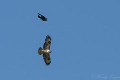 Buzzard Crow-5236 (WendyCoops224) Tags: 100400mml 80d canon eos localbirdswildlife springwatch ©wendycooper buteo buzzard corvid crow dispute