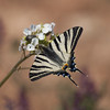 Joli costume rayé **--- ° (Titole) Tags: flambé butterfly papillon titole scarceswallowtail nicolefaton shallowdof thechallengefactory unanimouswinner