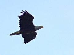 Bald Eagle flying SE 20170421 (Kenneth Cole Schneider) Tags: florida miramar westmiramarwca