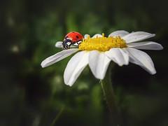 Ladybug (Javier Velázquez Molina) Tags: macro explorer explore españa wildlife wild awesome amazing andalucia love
