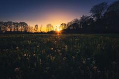 Champ de pissenlit (Francois Le Rumeur) Tags: sunset paririe pisenlit d810 hd 4k bois trees arbre soleil sun sunny flower lanscape paysage light scene